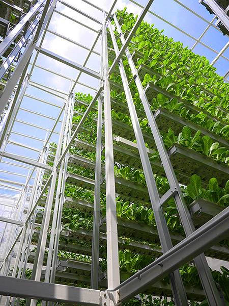 Vertical Farms maximize space so that crops can be grown in urban areas. SkyGreens is an example of an urban farm in Singapore.